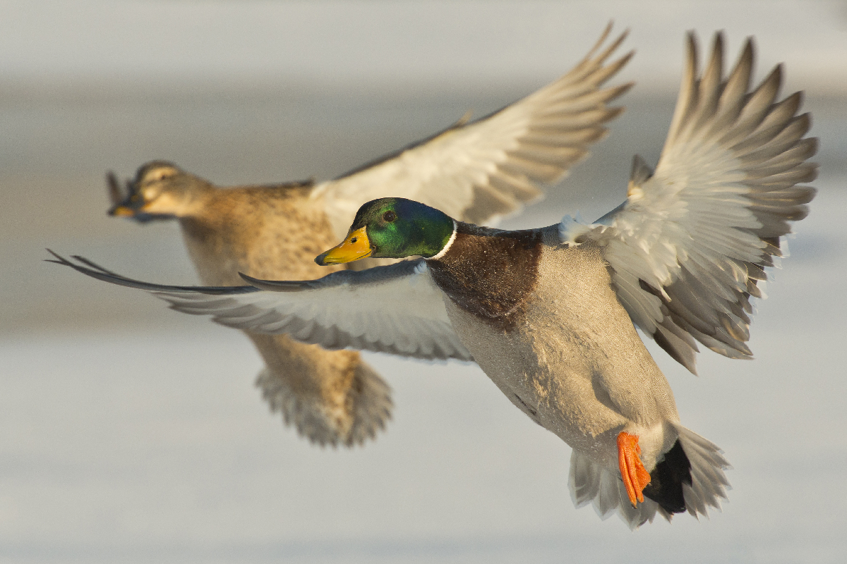 North Texas Duck Season Dates 2018 - 2019