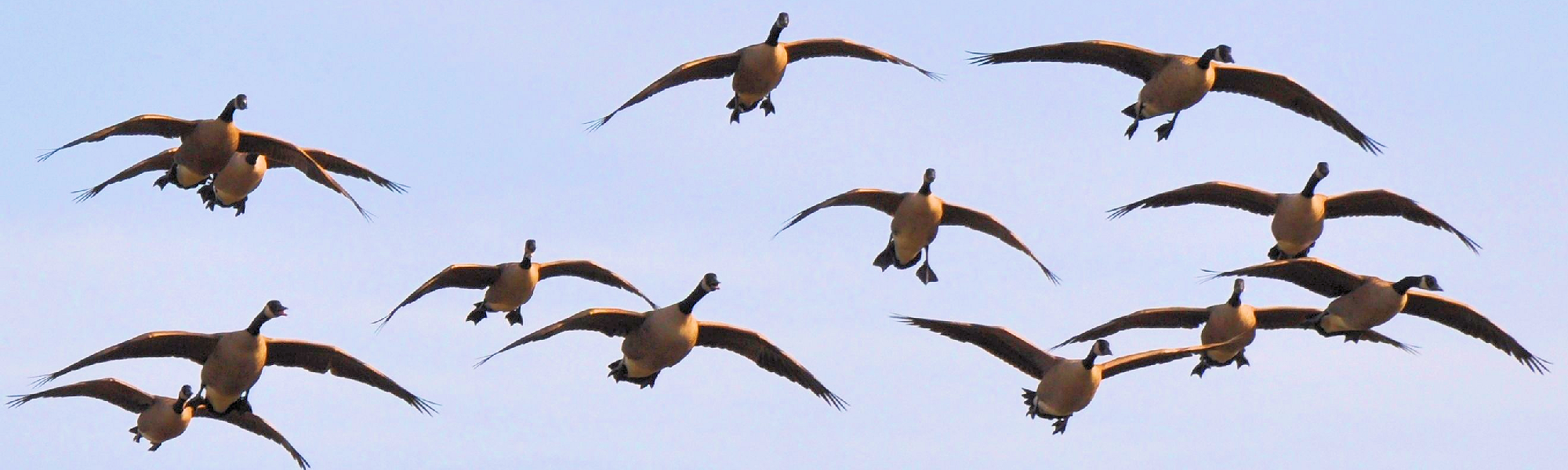 Texas Goose Hunting Guide - North Texas Waterfowl