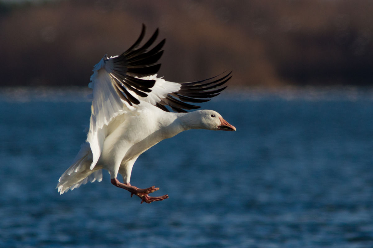 Texas Snow Goose Hunting | Snow Goose Species Information