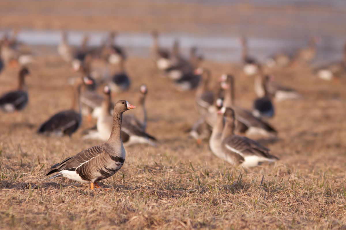Oklahoma Goose Season Dates | Oklahoma Goose Hunting Guides